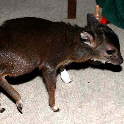 Baby duiker hit on the freeway