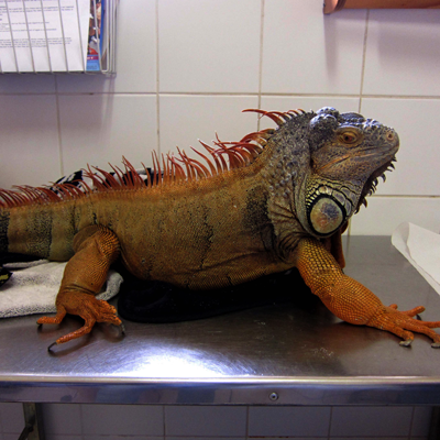Large Iguana called Iggy