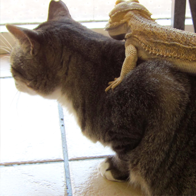 Practice Cat with bearded dragon