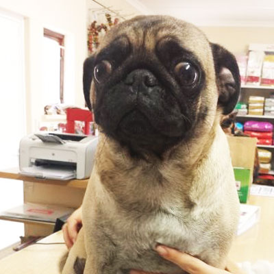 Pug at Riverside Vetereinary Clinic