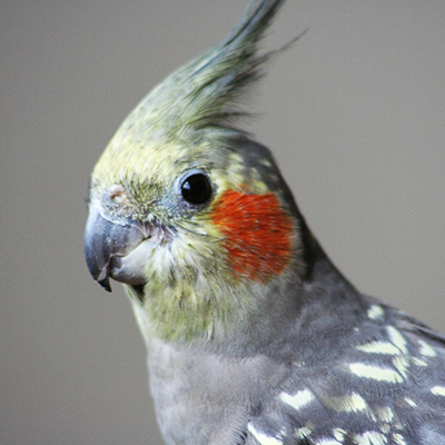 Close up of cockatoo